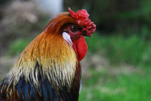 roosterpic